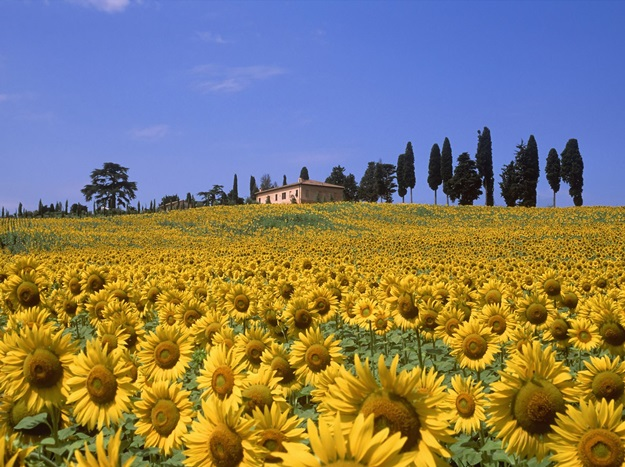 sunflower-valley-tuscany-italy2
