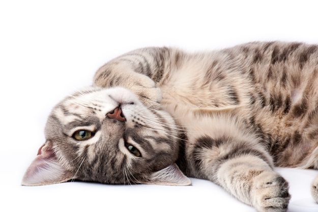 Tabby cat relaxing and looking at camera